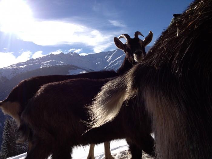 Capra Grischa Ziegen im Winter bei uns auf dem Betrieb. Könnte es schönen sein?