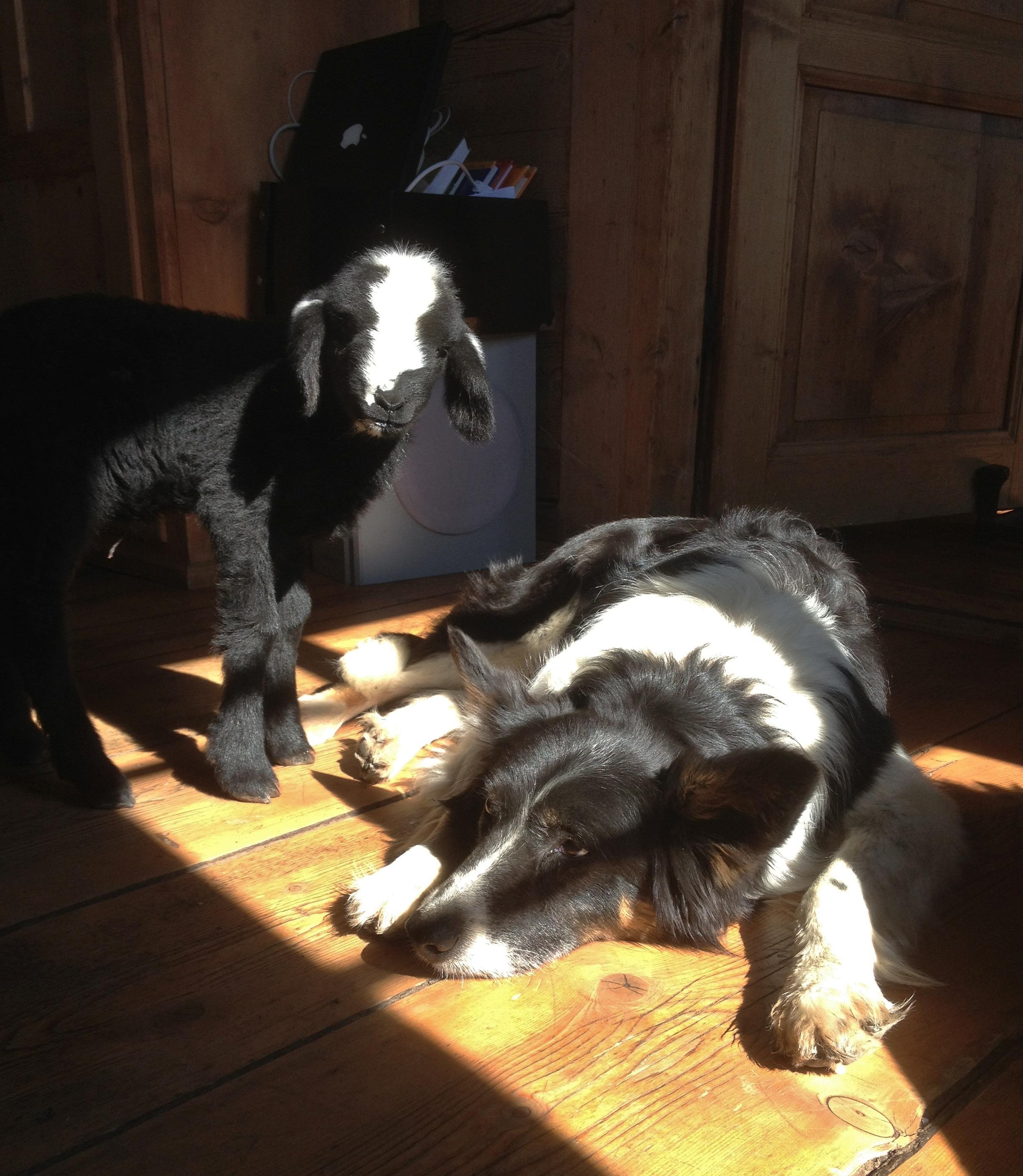 Schafe und Esel 008